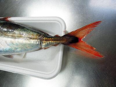 尾赤あじの名のとおり尾鰭が赤い