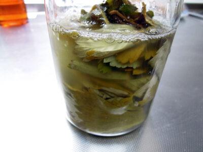ワイルドストロベリーの葉を使った酵母起こしの作業中