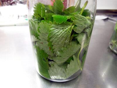 庭で増え続けるワイルドストロベリーの葉から酵母を起こしてみる