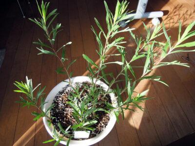 芽を出してからさらに成長したフレンチタラゴン