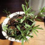 昨年(2020)苗を手に入れて育て、料理に使っていたフレンチタラゴンが冬を越して芽を出し、順調に育っている