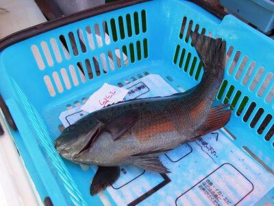 丸吉商店で購入した活魚のめじな