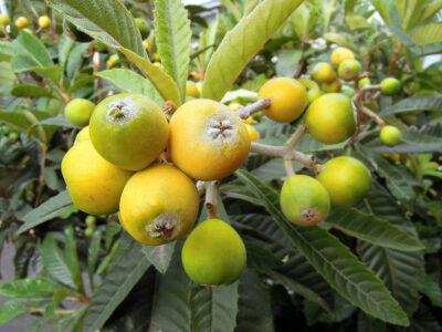 庭のびわの木にたくさん実がなる